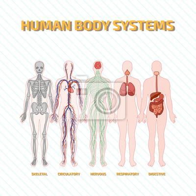 Menschlichen körper-systeme fototapete • fototapeten nubes, Atemwege ...