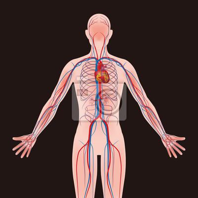 Menschlichen körper und kreislaufsystem, vektor-diagramm fototapete ...