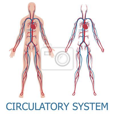 Menschlichen kreislaufsystems. vektor-illustration der durchblutung ...