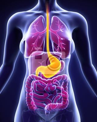 Menschlichen magen anatomie fototapete • fototapeten medicals ...