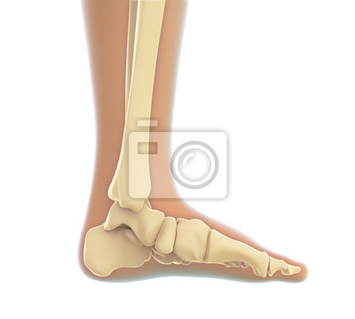 Menschlicher fuß anatomie fototapete • fototapeten Fibula, shinbone ...