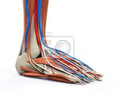 Menschlicher fuß muskeln anatomie fototapete • fototapeten shinbone ...