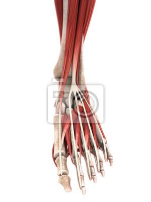Menschlicher fuß muskeln anatomie fototapete • fototapeten Mittelfuß ...
