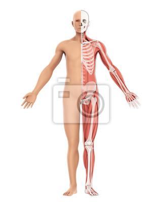 Menschlicher körper amd skeleton anatomie isoliert fototapete ...