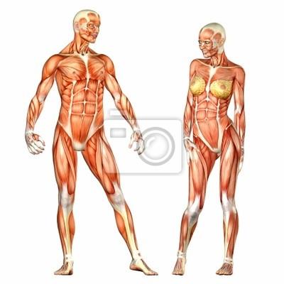 Menschlicher körper anatomie - männlich und weiblich fototapete ...