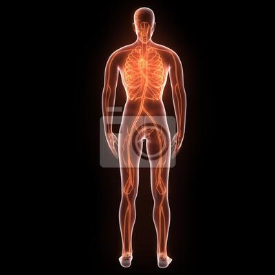 Menschlicher körper nerven, venen und arterien anatomie. 3d ...