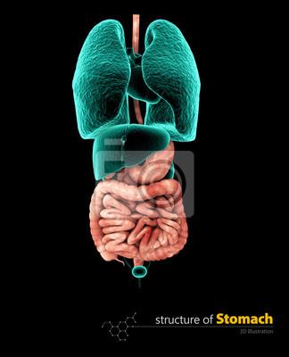 Menschlicher magen und verdauungstrakt, 3d illustartion isoliert ...
