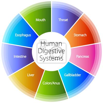Menschlicher verdauungstrakt systeme fototapete • fototapeten ...