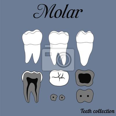Menschlicher zahn - molaren - zahnanatomie - dentin, schmelz ...