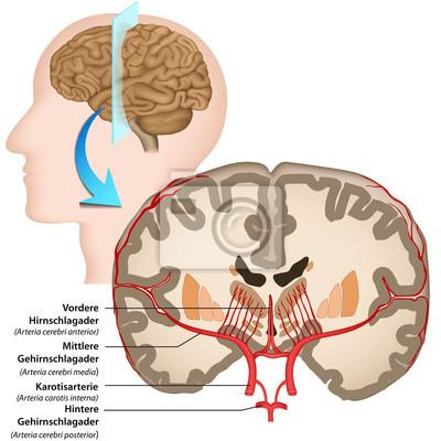 Menschliches gehirn, anatomie, blutversorgung fototapete ...