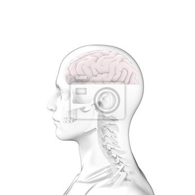 Menschliches gehirn, kopf anatomie fototapete • fototapeten medicals ...