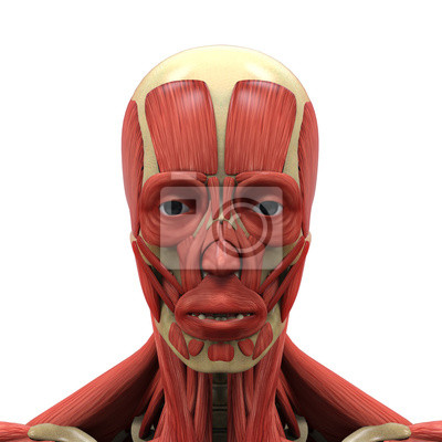 Menschliches gesicht anatomie fototapete • fototapeten anatomisch ...