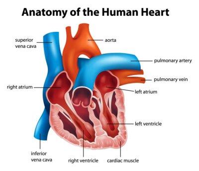 Menschliches herz anatomie fototapete • fototapeten pulmonalen ...