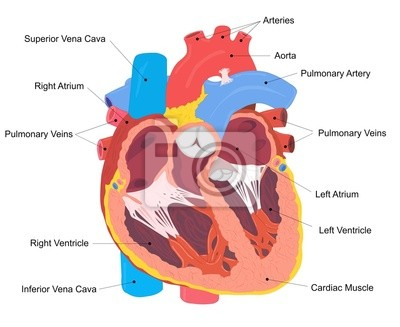 Menschliches herz querschnitt fototapete • fototapeten pulmonalen ...