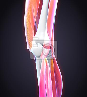 Menschliches knie anatomie fototapete • fototapeten shinbone ...