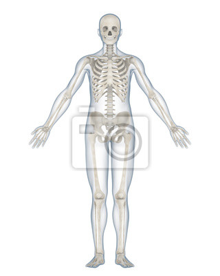 Menschliches skelett anatomie isoliert fototapete • fototapeten ...