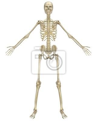 Menschliches skelett anatomie vorderansicht fototapete • fototapeten ...