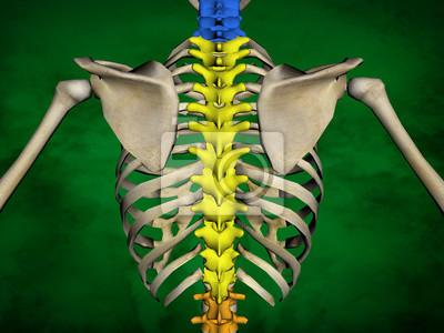 Menschliches skelett m-sk-pose bb-56-15, wirbelsäule, 3d-modell ...