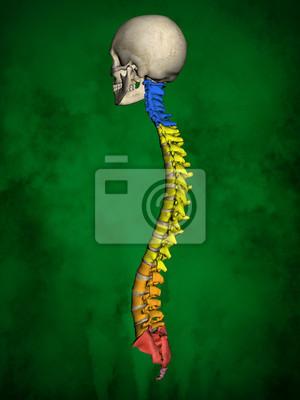 Menschliches skelett m-sk-pose bb-56-20, wirbelsäule, 3d-modell ...