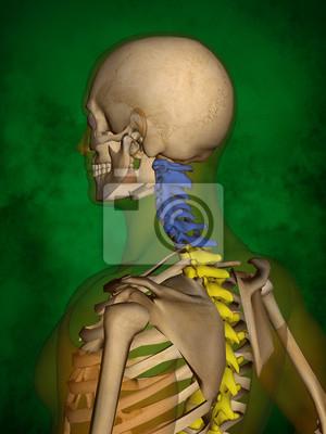 Menschliches skelett m-sk-pose bb-56-8, wirbelsäule, 3d-modell ...