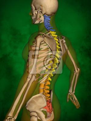 Menschliches skelett m-sk-pose bb-56-9, wirbelsäule, 3d-modell ...