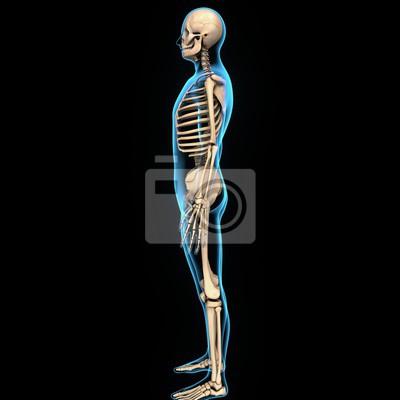 Menschliches skelett menschliches skelett vor schild des ...