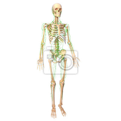 Menschliches skelett mit lymphatischen systems fototapete ...