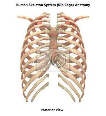 Menschliches skelett system brustkorb anatomie (posterior ansicht ...