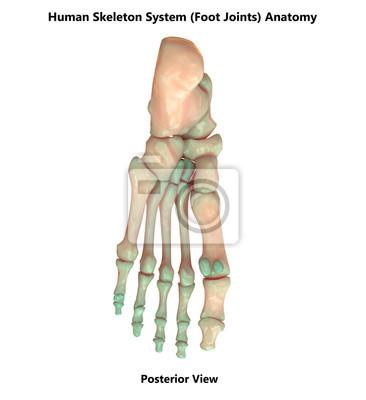 Menschliches skelett system fuß gelenke anatomie (posterior ansicht ...