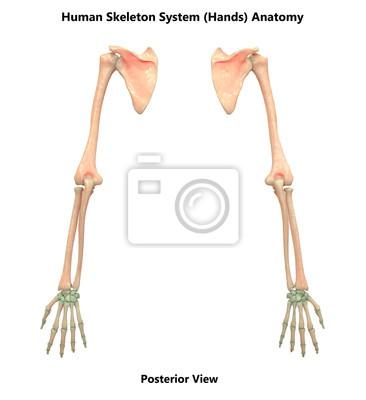 Menschliches skelett system hände anatomie (posterior ansicht ...