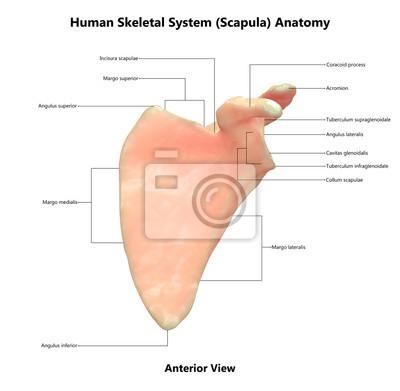 Menschliches skelett system scapula anatomie (ansicht von vorne ...