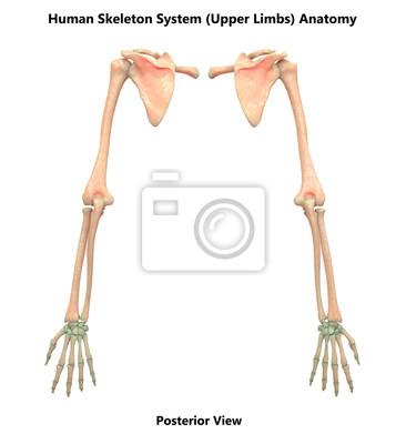 Menschliches skelettsystem anatomie der oberen gliedmaßen (ansicht ...