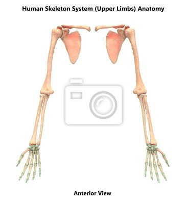 Menschliches skelettsystem anatomie der oberen gliedmaßen ...