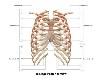 Menschliches skelettsystem (brustkorb) anatomie mit detaillierten ...