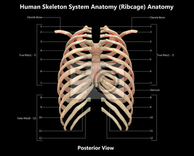 Menschliches skelettsystem brustkorb detaillierte anatomie (ansicht ...