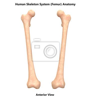 Menschliches skelettsystem femur anatomie (vorderansicht) fototapete ...