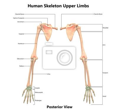 Menschliches skelettsystem (obere extremitäten) anatomie mit ...