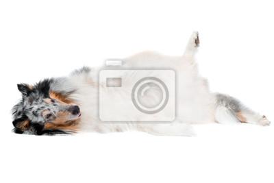 merle Collie Hund mit Kopf