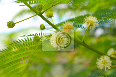 Mimosa pudica, Flower White color.