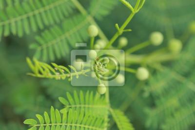 Mimose Blatt mit Blur grünen Hintergrund.