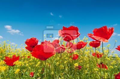 Mohn-Blumen