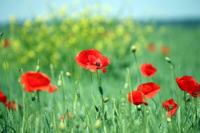 Fototapete Mohnblumen Blume Landschaft Frühjahr