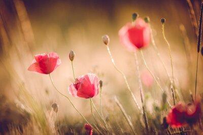 Fototapete Mohnblumen im Sommer Natur Feld mit strahlend goldenes Licht / Sommer Hintergrund / Frühjahr Hintergrund
