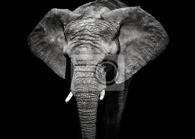 Fototapete Monochrome portrait elephant