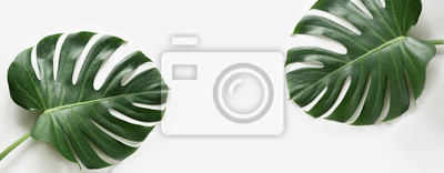 Fototapete Monstera lässt Anlage auf weißem Hintergrund. Mit textfreiraum isoliert. Banner.