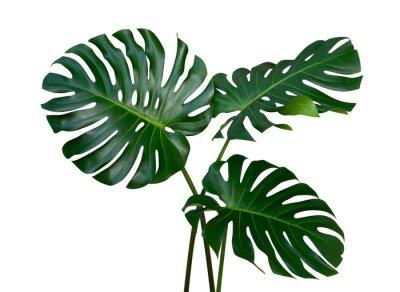 Fototapete Monstera-Pflanzenblätter, die tropische immergrüne Rebe lokalisiert auf weißem Hintergrund, Beschneidungspfad eingeschlossen