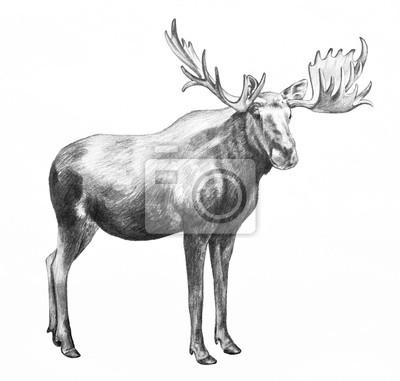Moose illustration. hand gezeichnete bleistiftskizze elch auf ...