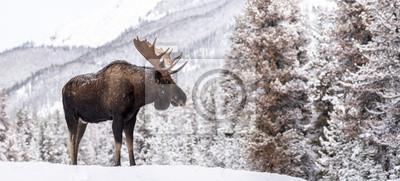 Fototapete Moose in Snow in Jasper Canada