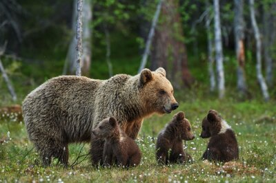 Fototapete Mother bear and cubs