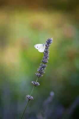 Fototapete Motyl na lawendzie